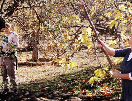 Olive picking 2013